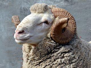 Wool Growers Association | Farmer Management | Sheep Farming