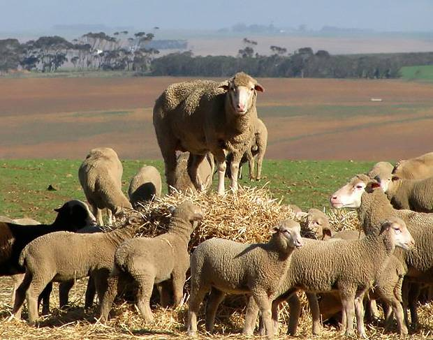 Wool-growing-membership-south-africa