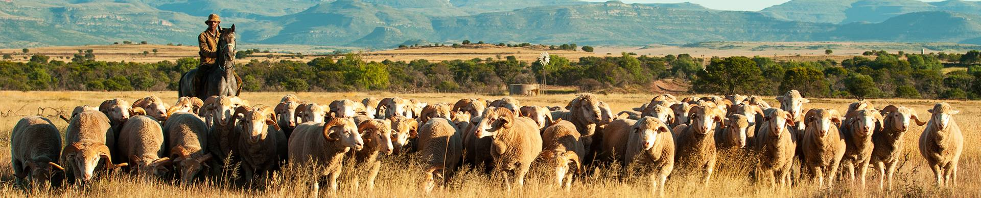 Wool-growing-membership-in-south-africa