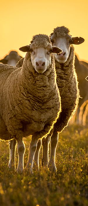 National-wool-growers-in-south-africa