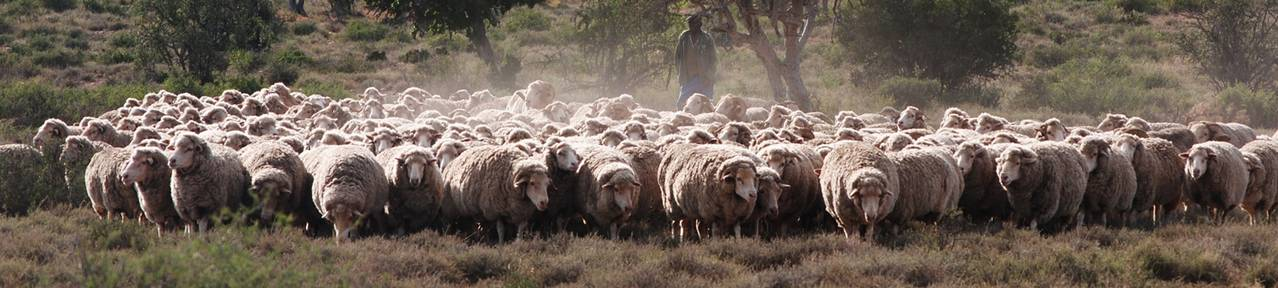 Wool-growing-farmers-south-africa