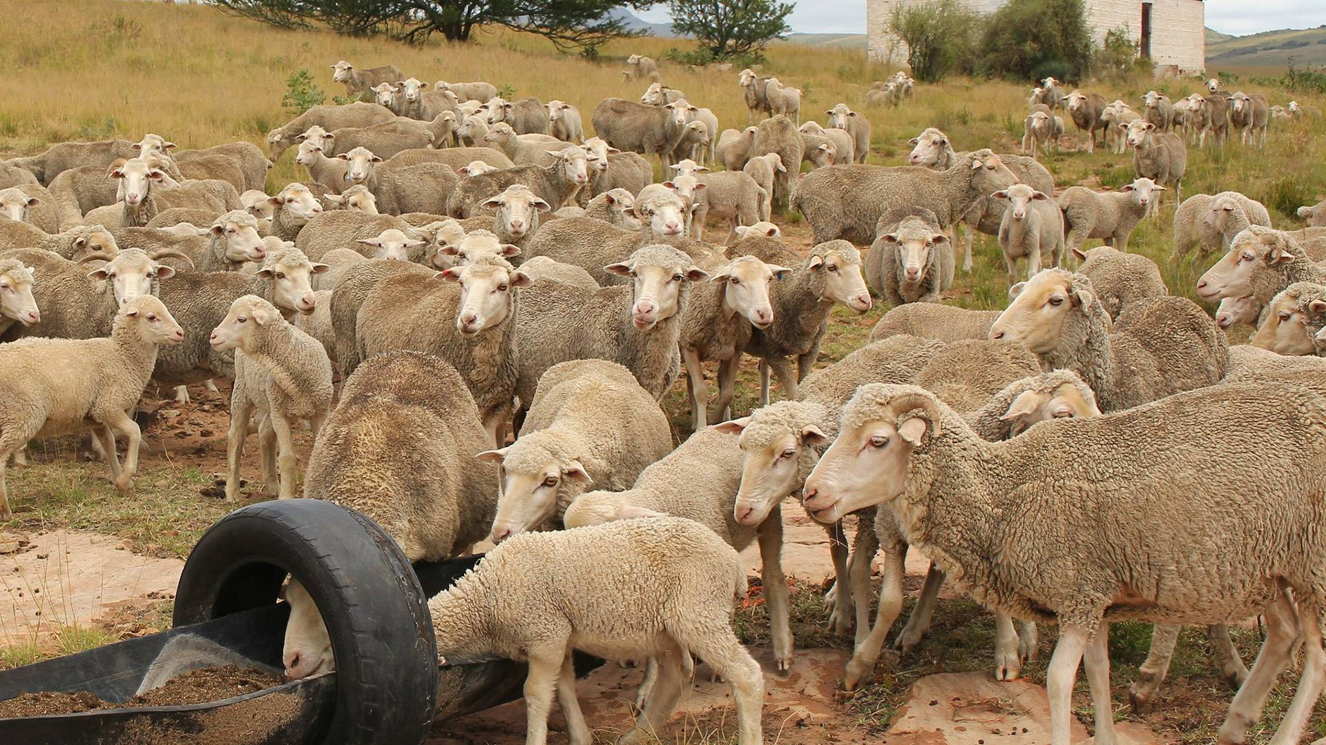 national-wool-growers-association-of-south-africa-sheep-industry